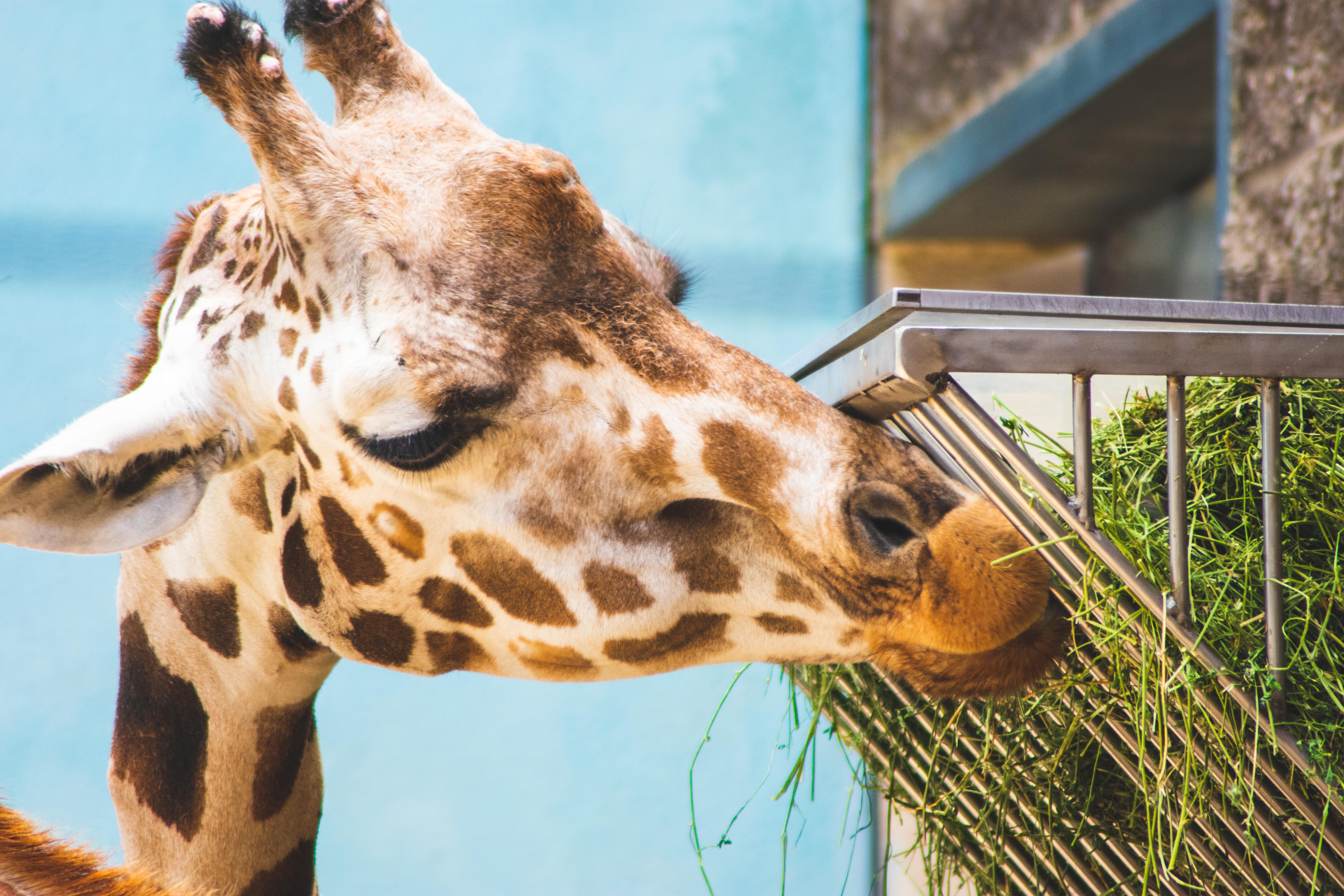 Giraffe Eatting Grasses