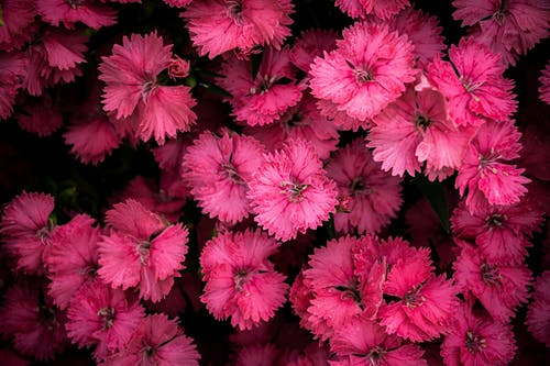 Top View Photo of Pink Flowers