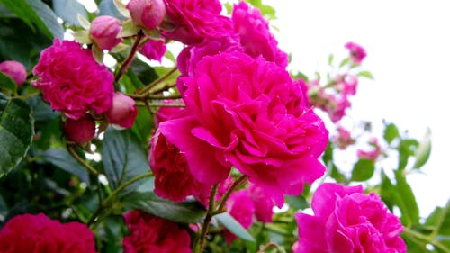 güller, kırmızı içeren Ücretsiz stok fotoğraf
