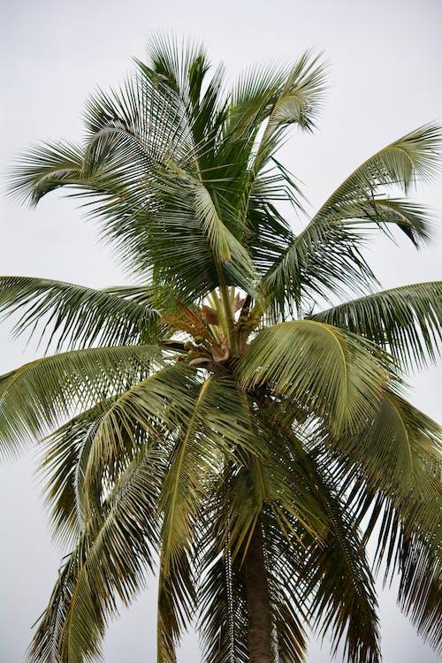 arbre, cocotier, contre-plongée