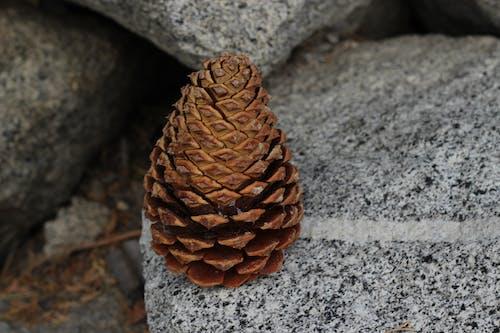 Free stock photo of pinecone