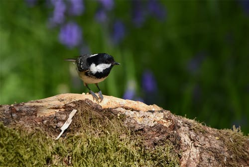 Free stock photo of bird, coal tit, kinclaven woods, wildlife