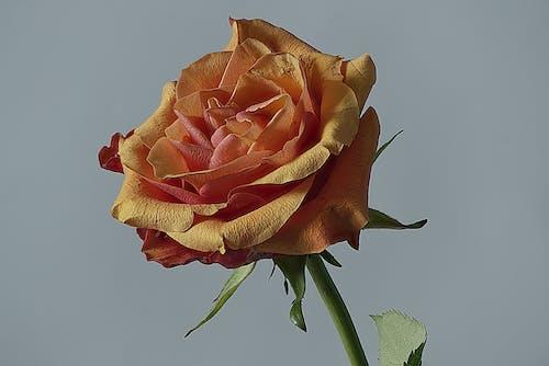 Základová fotografie zdarma na téma květ růže