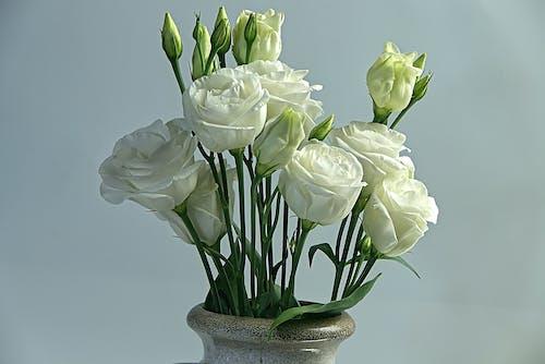 Základová fotografie zdarma na téma bílé růže, makro fotografie