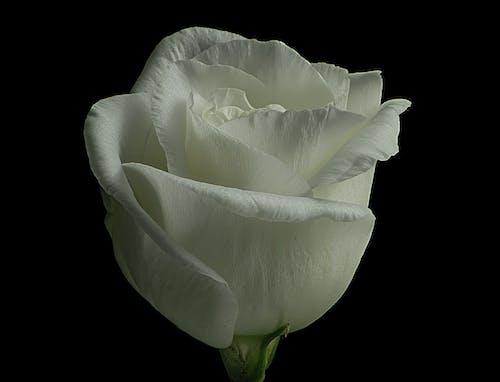 Základová fotografie zdarma na téma bílá růže, makro fotografie
