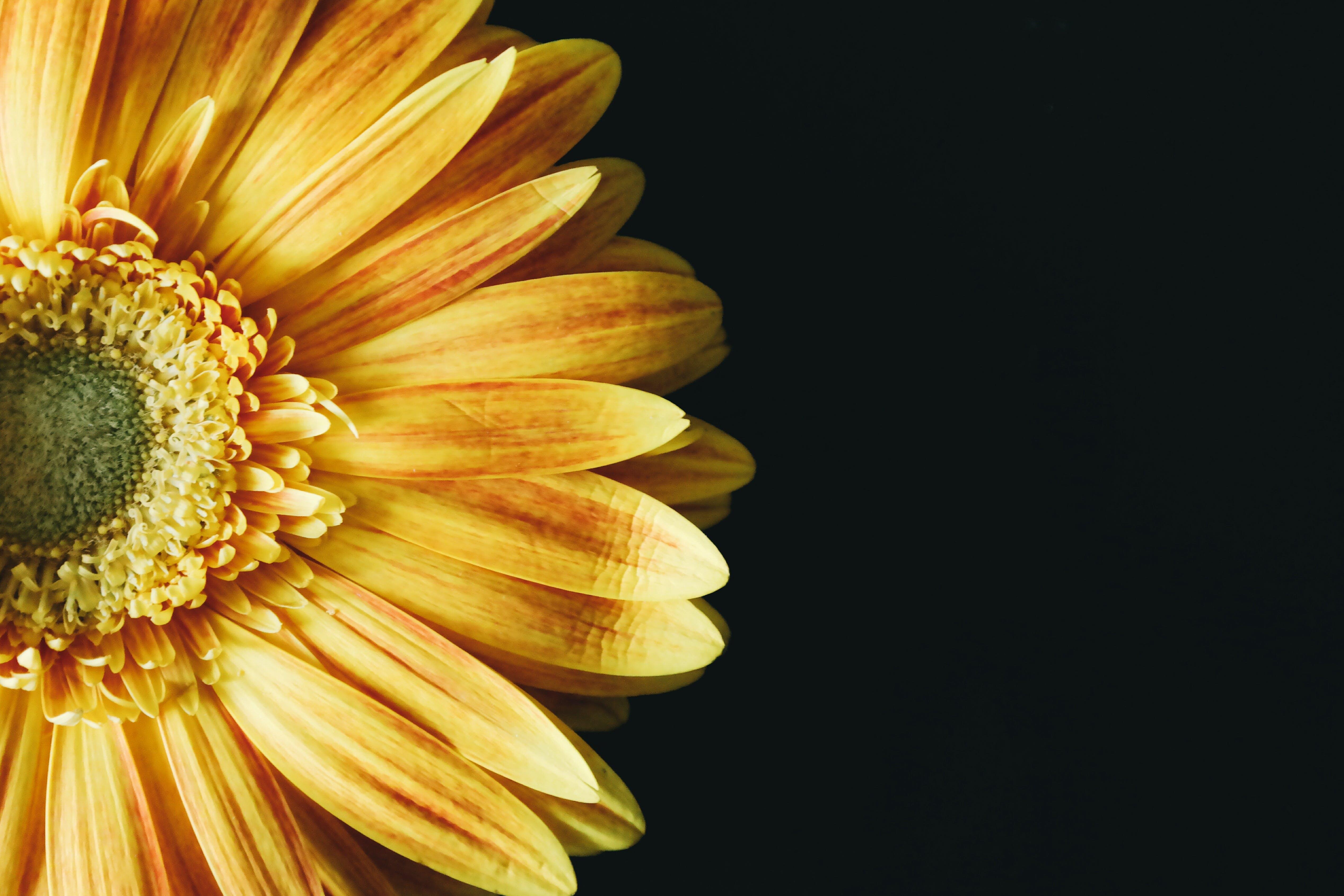 Free stock photo of yellow, petals, flower, single