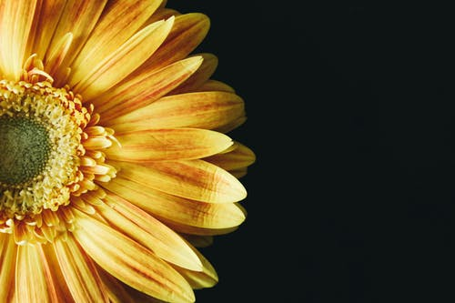 Close-up Photography of Yellow Gerbera Daisy Flower