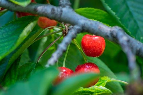 Бесплатное стоковое фото с вишни, обои 4k