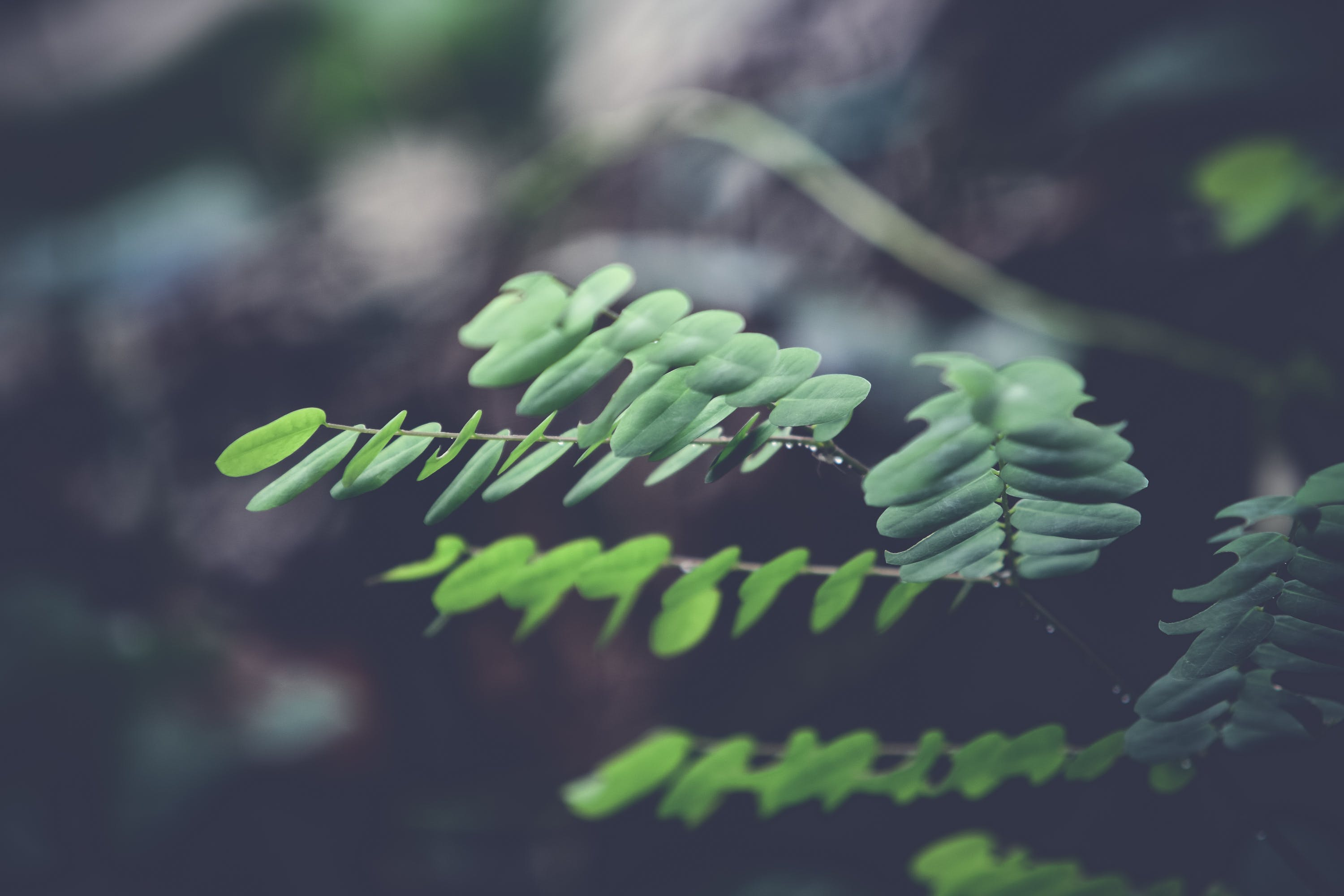 Selective Focus Photography of Green Silver Dollar Eucalyptus Leaves