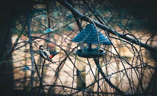 选择性啄木鸟栖息在喂鸟器上的霜霉病啄木鸟