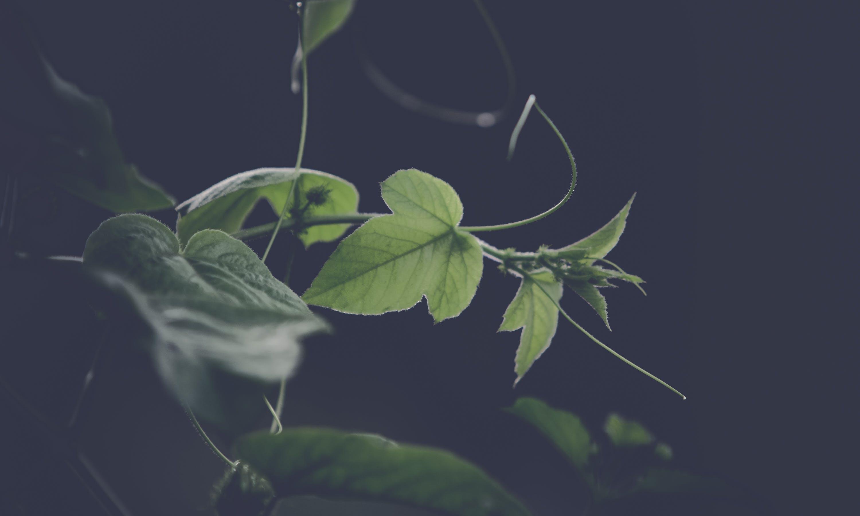 Green Leafed Vines