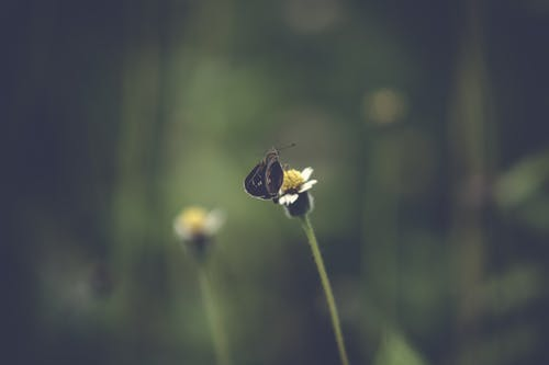 Selective Focus Photography of Black Butterfly on White Petaled Flower