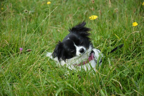 White and Black Puppy Lying on Grass Field