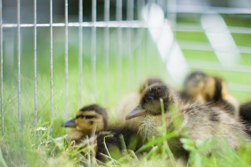 Free stock photo of animals, cute, ducks, farm