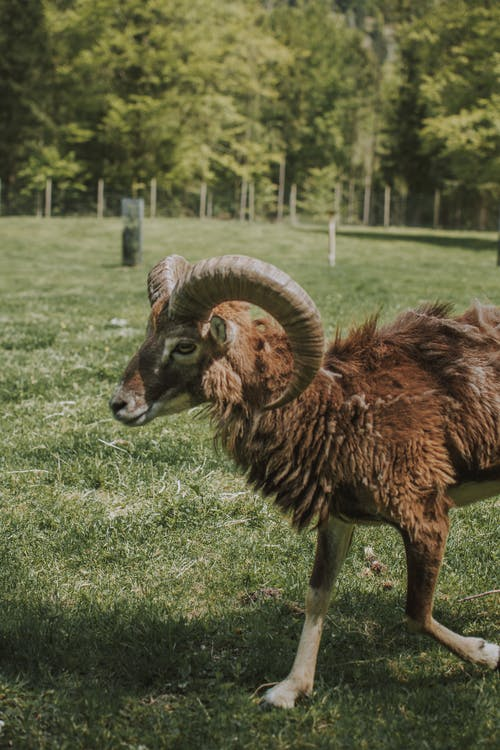 Photo of Ram on Grass Field