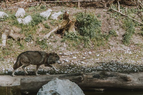 Photo of Wolf Near River