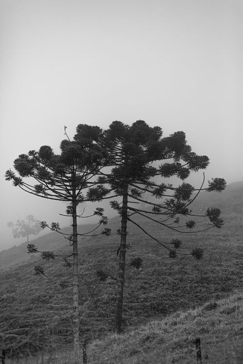 Grayscale Photography of Two Tall Trees