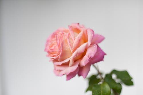 ピンクのバラ, ローズ, 自然, 花の無料の写真素材