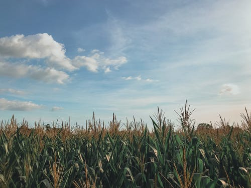 Foto d'estoc gratuïta de blat de moro, camp, camp de blat de moro