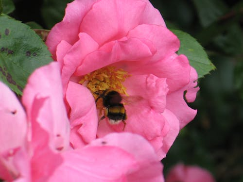 Free stock photo of bee, bumble bee, flower