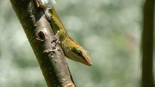 Darmowe zdjęcie z galerii z jaszczurka, natura