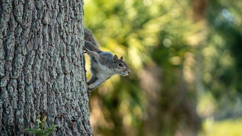 Darmowe zdjęcie z galerii z drzewo, natura, wiewiórka, zwierzę