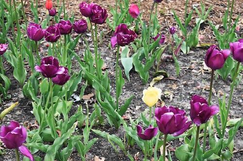 Foto stok gratis bunga tulip, bunga-bunga, mekar, musim semi