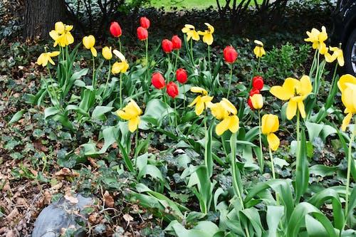 Foto stok gratis bunga, bunga tulip, musim semi