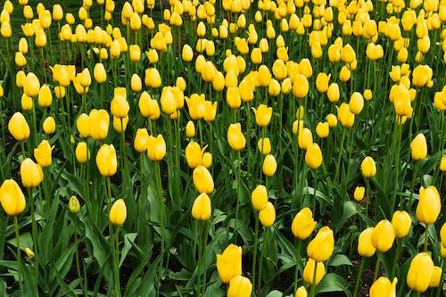 Foto stok gratis bunga tulip, bunga-bunga, kuning, musim semi