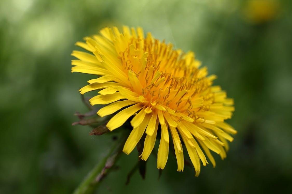 amarelo, dente-de-leão, ecológico