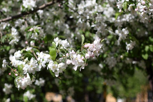 Fotobanka sbezplatnými fotkami na tému biela, biely kvet, divá príroda, jabloň