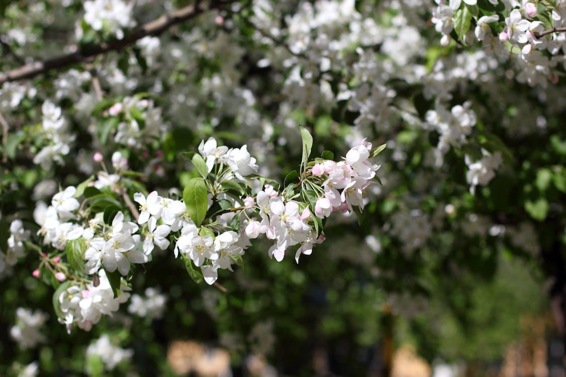 árvore de maçã, branco, ecológico