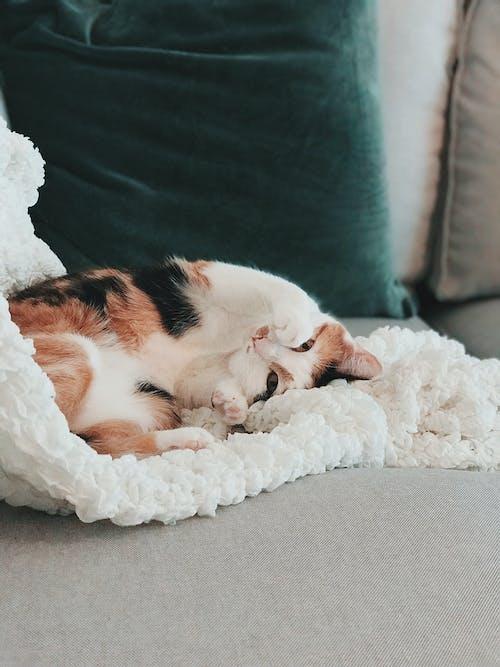 Darmowe zdjęcie z galerii z koci, kot, sofa, ssak