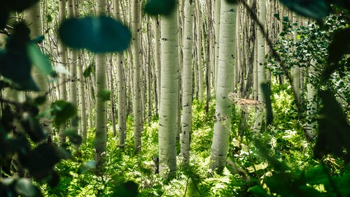 Free stock photo of aspen, aspens, bark, climb