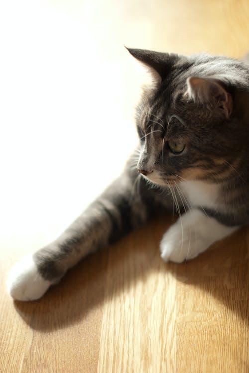 Fotobanka sbezplatnými fotkami na tému domáce zviera, ležiaci, mačka, podlaha