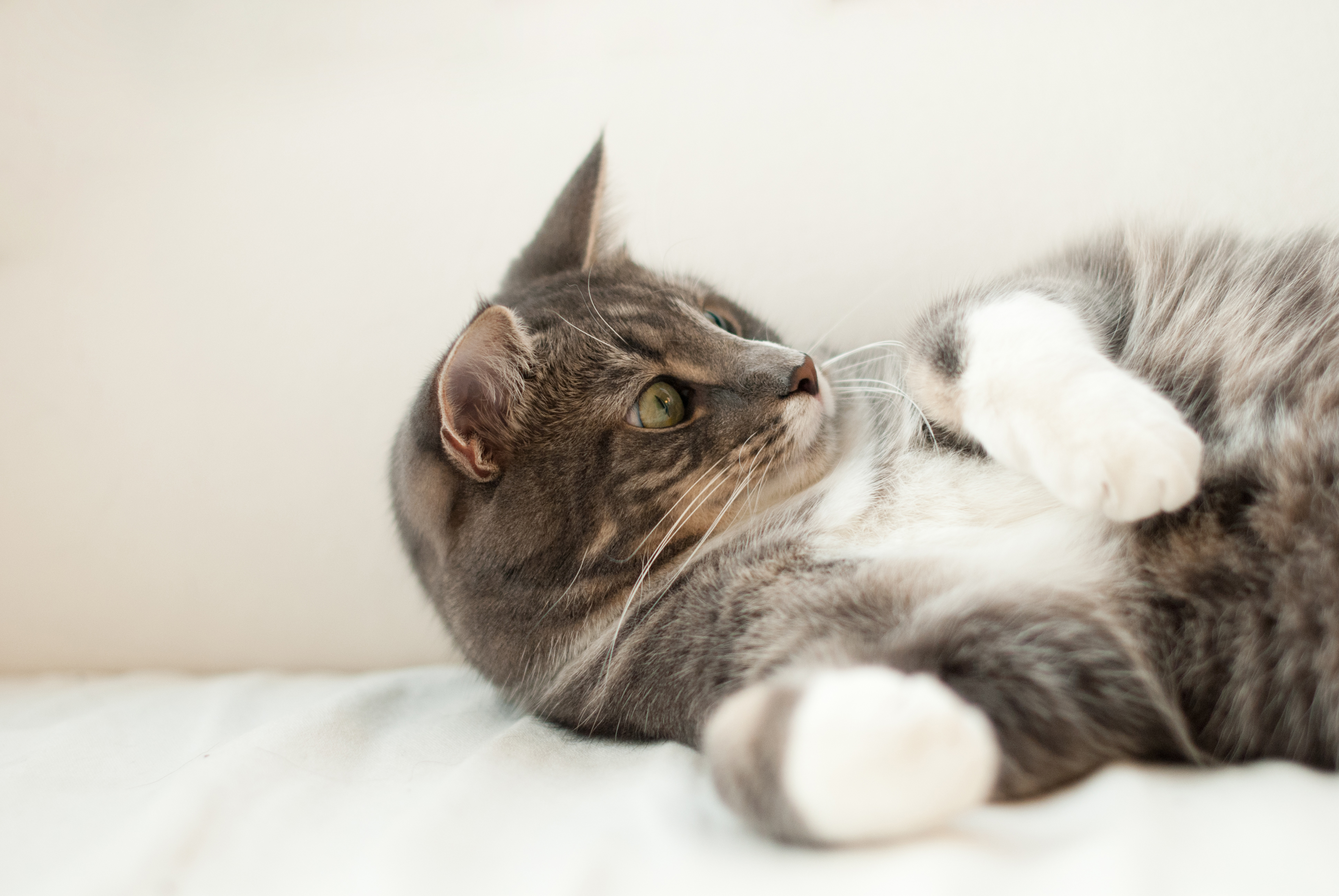 Short-coated Gray and White Cat