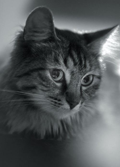 Fotobanka sbezplatnými fotkami na tému čierna a biela, detail, domáce zviera, mačka
