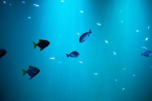 Fotobanka sbezplatnými fotkami na tému akvalung, akvárium, divočina, druhy rýb
