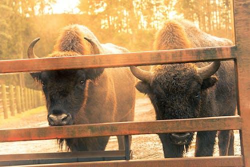 Fotobanka sbezplatnými fotkami na tému bizón, európsky, wisent, ZOO
