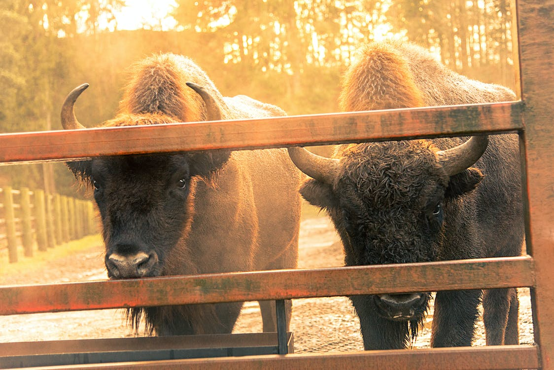 animal, bicho, bisão