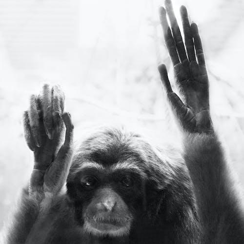 Fotobanka sbezplatnými fotkami na tému deprimovaný, detail, gibbon, habitat
