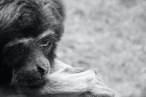 Fotobanka sbezplatnými fotkami na tému čierna a biela, detail, gibbon, habitat