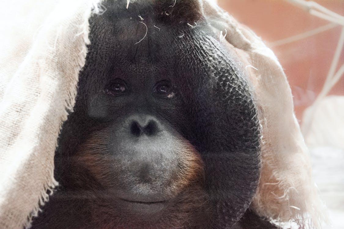 małpa, męski, orangutan