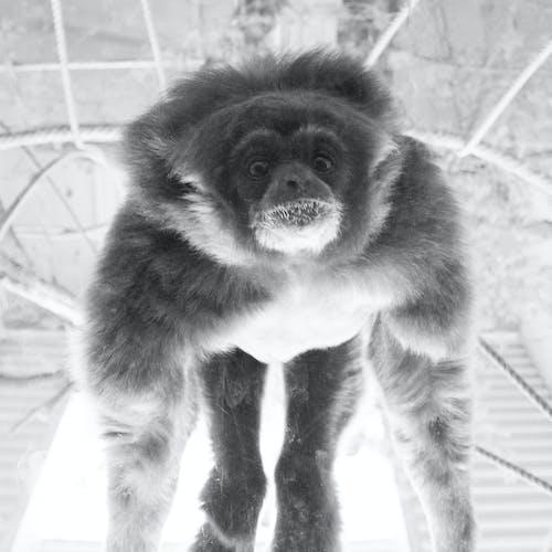 Fotobanka sbezplatnými fotkami na tému gibbon, habitat, hojdanie, hore nohami