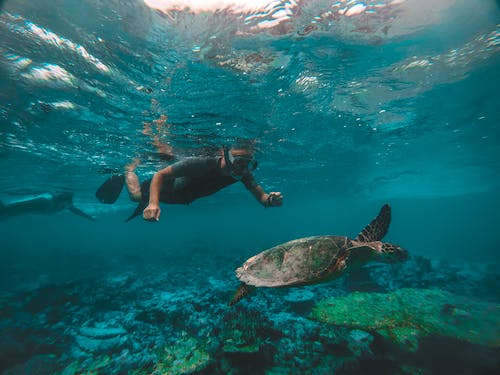 Man Snorkeling While Looking at Ocean Turtle