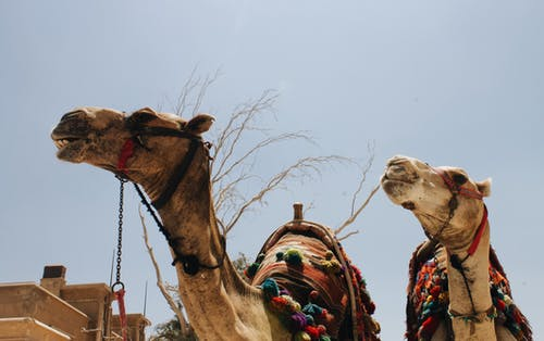 Two Brown Camel Animals