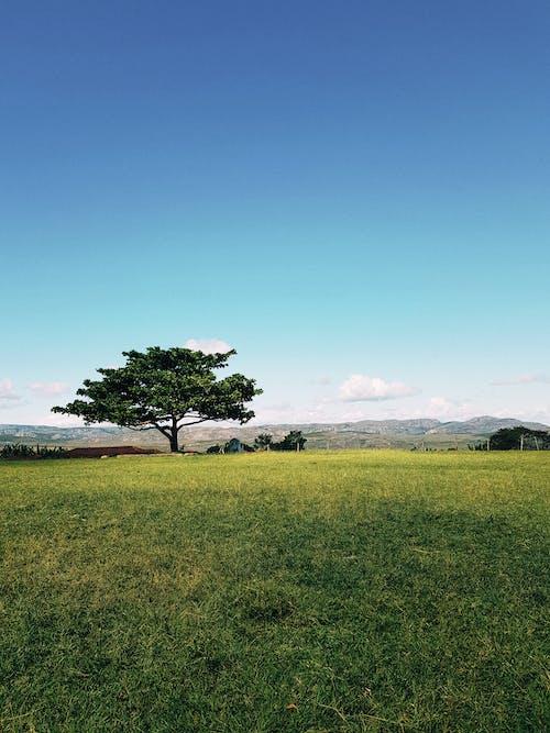Árbol Verde En El Campo De Hierba Bajo El Tranquilo Cielo Azul