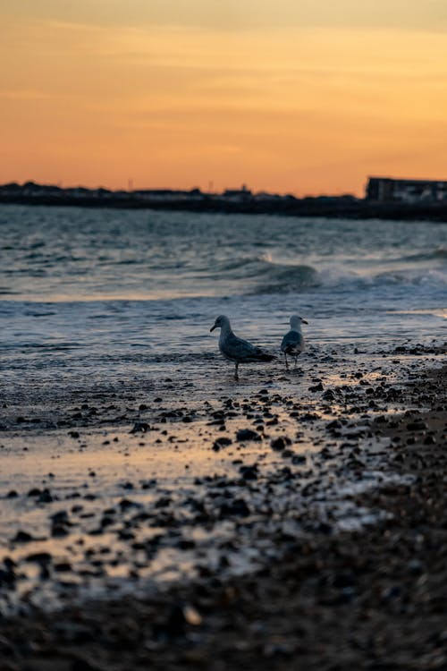 Photo of Two Seagulls on a Beach at Sunset