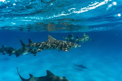 Photo of Sharks Underwater