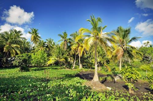 Foto d'estoc gratuïta de arbres, assolellat, cel, cocos